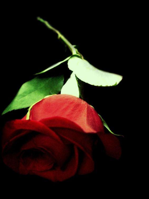 TU mi rosa más hermosa
